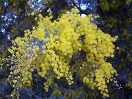 native plants adelaide acacia baileyana cootamundra wattle mallee native plants