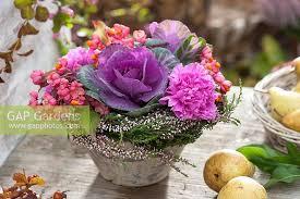 gap gardens arrangement of brassica ornamental cabbage
