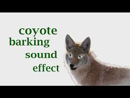 The Animal Sounds Coyote Barking Sound Effect Animation