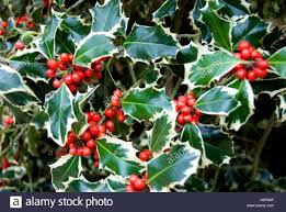 winter green leaves bush shrub cream decoration berries christmas
