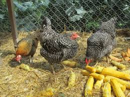 How To Care For Backyard Chickens by Caring For Your Suburban Chickens How Much Time Does It Really