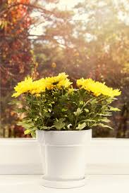 chrysanthemum houseplants u2013 how to grow mums indoors