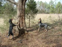 bluetick coonhound lab mix puppies for sale bluetick coonhound coonhounds www bluetick1kennels com blueticks