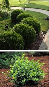 Small Shrubs For Front Yard - green velvet retains the upright rounded shape you u0027d expect from