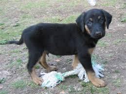 8 week old australian shepherd training puppy in training timeline part 4
