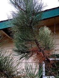 are your evergreens looking yellow or brown this might be why