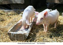 pigs eating stock images royalty free images u0026 vectors shutterstock