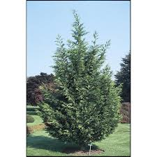 shop 5 5 gallon leyland cypress screening tree l3153 at lowes com
