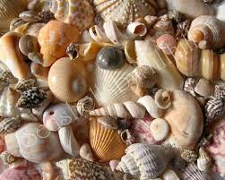 Where To Buy Seashells Identifying Your Seashells Where To Start Seashells By Millhill