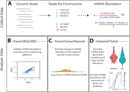 mitochondrial dna copy number variation across human cancers elife