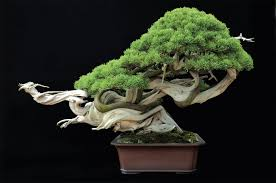 tiny trees the of bonsai in omiya koen