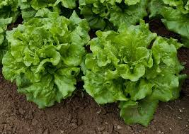 Types Of Vegetables To Grow In A Garden - lettuce varieties u2013 learn about the different types of lettuce