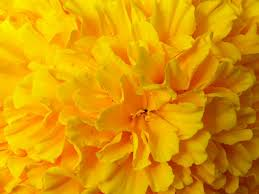 yellow flowers wallpapers reuun com