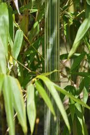 bamboo land nursery and parklands bambusa longispiculata bamboo land nursery qld australia
