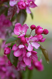 tree with pink flowers small pink flowers on the tree domain free photos for