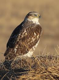 South Dakota birds images Ferruginous hawk south dakota birds and birding jpg