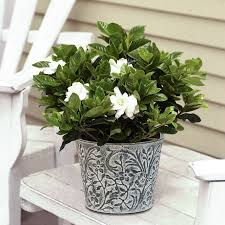 Fragrant Container Plants - find out why potted plants are the best mother u0027s day gifts this