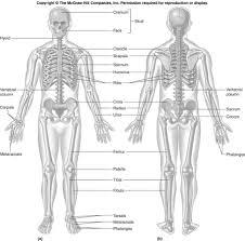 Anatomy Of Human Body Bones Anatomy Bone Labeling Anatomy And Physiology Skeletal System