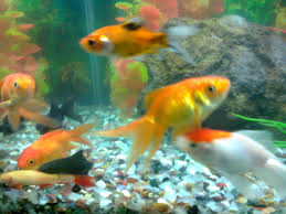 pet fish goldfish pet goldfish may get banned in san francisco a
