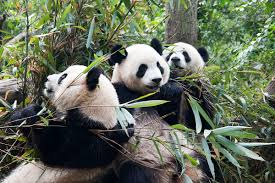native plants and animals list of endangered and protected species of china wikipedia