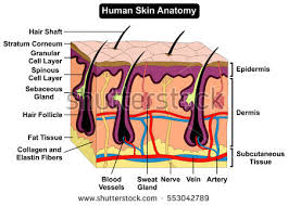 Picture Of Human Anatomy Body Anatomy Stock Images Royalty Free Images U0026 Vectors Shutterstock