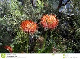 Pin Cushion Tree Pincushion Protea Plant Stock Photo Image 66976024