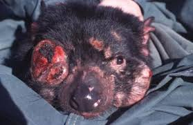 tasmanian devil decline as feral cat numbers surge newtekworldnews