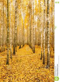 birch trees in autumn woods forest yellow foliage russian forest