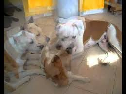 jack russell american pitbull terrier mix jack russell terrier vs american staffordshire terrier youtube