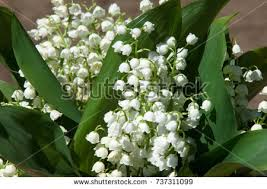 Lily Of The Valley Flower Lily Of The Valley Stock Images Royalty Free Images U0026 Vectors