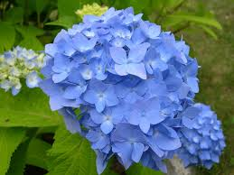 best 25 hydrangea flower pictures ideas on pinterest growing