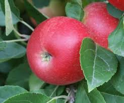Online Fruit Trees For Sale - discovery apple trees for sale order online