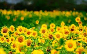 foto wallpaper bunga matahari bunga matahari musim panas bunga kuning iphone hd wallpaper desktop