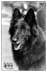 belgian shepherd national specialty bea u2013 beljekali