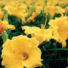 stella daylily hemerocallis stella d oro from santa rosa gardens daylily stella