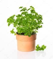 herbe cuisine persil herbe cuisine en pot photographie liligraphie 13399982