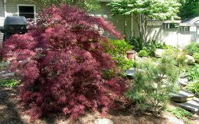 buy tamukeyama japanese maple for sale from wilson bros gardens