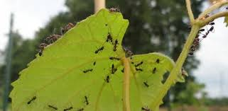 how to control aphids in your garden today u0027s homeowner