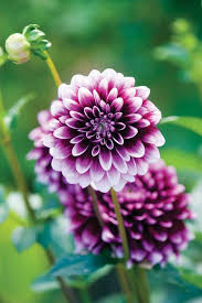 dahlias flowers edible dahlia bulbs real food earth news