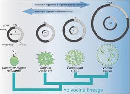 organelle genome complexity scales positively with organism size
