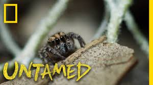 the weird lives of jumping spiders ep 8 untamed with