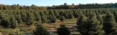 resources agriculture resources christmas trees faq umass