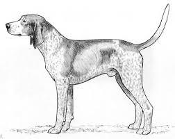 bluetick coonhound drool rasstandard bluetick coonhound gummarps kennel