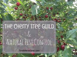Cherry Tree Fruit - the cherry tree guild and natural pest control tenth acre farm