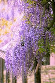 1615 best garden wisteria images on pinterest wisteria gardens