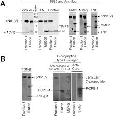 Anti Flag Antibody Identification Of Binding Partners Interacting With The α1 N