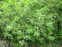 native plants portland oregon plants rcesc pcc