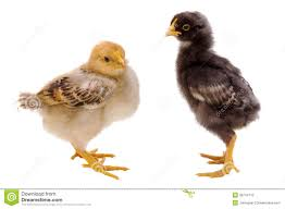 28 small chicken small chicken royalty free stock photo