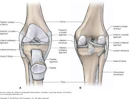 Lateral Collateral Ligament Ankle Chapter 20 The Knee Dutton U0027s Orthopaedic Examination