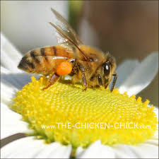 the chicken how chickens and honey bees are the same only
